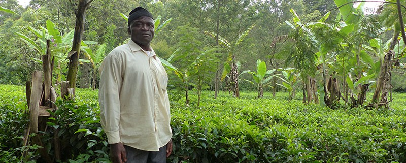 h3-A-farmer-poses-in-a-multi-crop-tea-garden-at-Kitiwum.-2