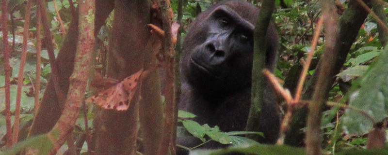 h4-There-he-is,-a-male-gorilla,-looking-at-us-in-Moukalaba-Doudou..-CAFF-Gabon-Foto's-Meindert-Brouwer-092